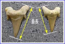 サメ歯化石の歯のサイズ